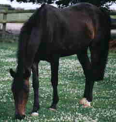 Pembridge Mr McCauley grazing.jpg